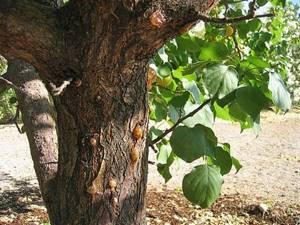 Болезни абрикоса монилиоз клястероспориоз парша и насекомые  что делать