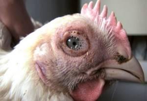 Что такое болезнь ньюкасла у кур