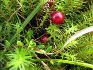 Как растет клюква в лесу