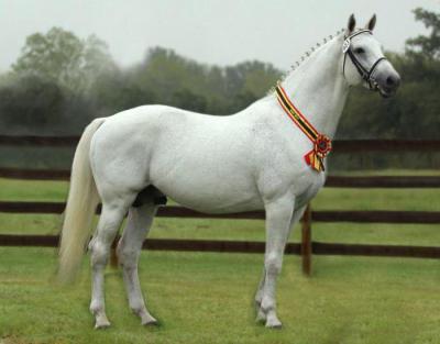 Как выглядит голштинская лошадь