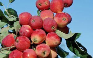 Посадка яблони осенью в сибири