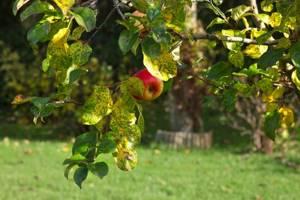 Обрезка яблони осенью видео для начинающих