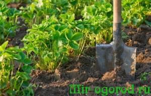 Подготовка грядок под клубнику осенью