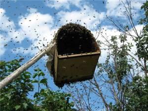 Как применять приманку унирой для пчелиных роев: средства для привлечения, как сделать своими руками