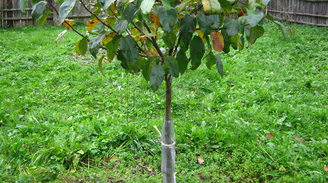 Утепление колоновидной яблони на зиму