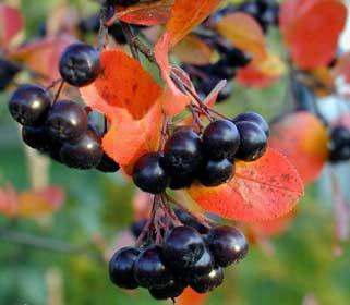 Как сохранить черноплодную рябину без варки свежей на зиму