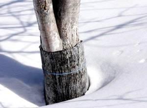 Как укрыть яблони однолетки на зиму