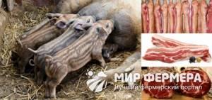Свиньи Кармалы: характеристика, фото, отзывы о породе