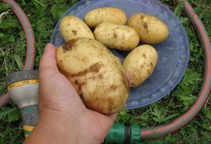 Картофель Колетте характеристика и описание сорта отзывы садоводов с фото