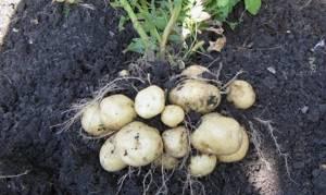 Картофель латона характеристика сорта отзывы вкусовые качества