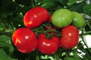Лучшие сорта кистевых томатов для теплиц и открытого грунта