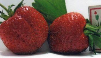 Клубника Мальвина: описание сорта, фото, отзывы садоводов
