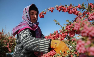Барбарис кустарник когда собирать урожай