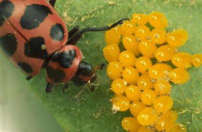 Кто ест колорадского жука? Главные естественные враги вредителя