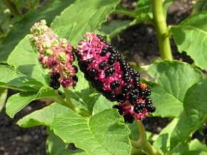 Лаконос лечебные свойства ягоды