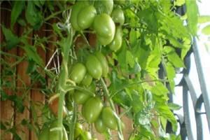 Можно ли есть зеленые помидоры