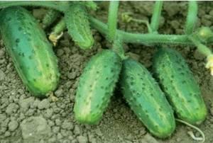 Огурец фермер описание и характеристика сорта мнение садоводов с фото