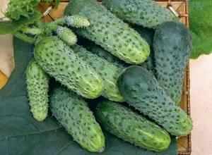 Описание сорта огурцов Лилипут его характеристика и урожайность