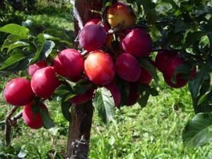 Слива Кабардинка – фото и описание сорта