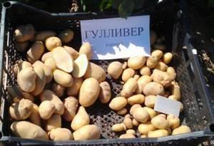 Картофель Гулливер описание и характеристика сорта отзывы садоводов с фото