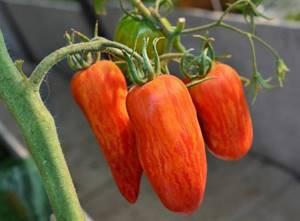 Томат искры пламени характеристика и описание сорта урожайность с фото