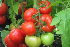 Томат красный петух характеристика и описание сорта