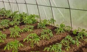 Томат Южный загар характеристика и описание сорта урожайность отзывы и фото