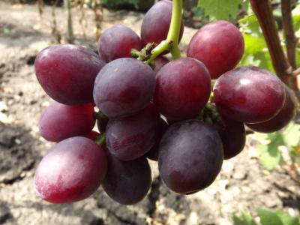 Описание винограда эверест