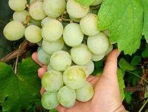 Виноград сорт кеша отзывы