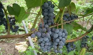 Виноград таежный описание сорта и характеристики правила посадки и ухода