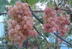 Тайфи виноград где растт