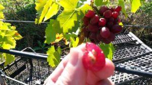 Виноград ягуар описание сорта