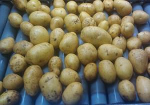 Подготовка картофеля к хранению - Сайт о картофеле