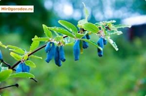 Жимолость Бакчарский великан описание и характеристика сорта, выращивание и уход, отзывы, фото