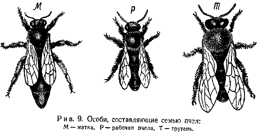 Устройство пчелиной семьи состав жизнь и обязанности