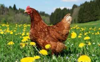 Куриный помет как удобрение для помидор и огурцов: как развести и обработать