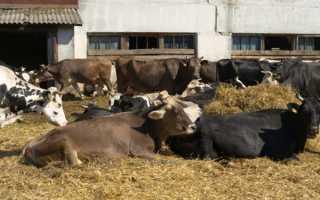 Костромская порода коров: фото, характеристика