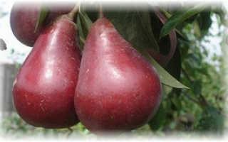 Великолепная красная груша Старкримсон — особенности и выращивание