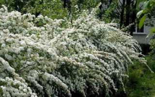 Спирея сохнет: почему желтеют листья, болезни и вредители