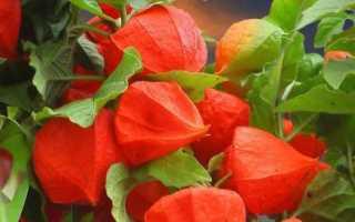 Как вырастить физалис: особенности выращивания дома из семян, уход, какие есть виды и сорта, в том числе для Урала, Подмосковья, Сибири