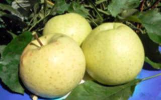 Колоновидная яблоня Медок: характеристика, описание сорта, фото, отзывы