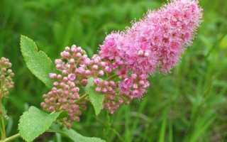 Спирея Дугласа: ботаническое описание, условия выращивания и уход