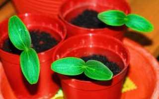 Как вырастить рассаду огурцов дома — когда сеять, видео