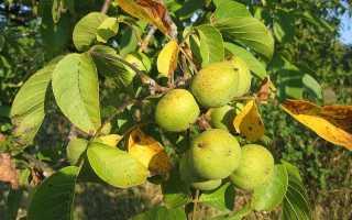 Как растет грецкий орех, как выглядит дерево, когда нужно собирать