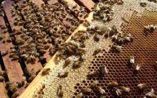 Устройство пчелиной семьи: состав, жизнь и обязанности