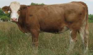 Симментал, порода коров: фото и описание, характеристики, плюсы и минусы породы