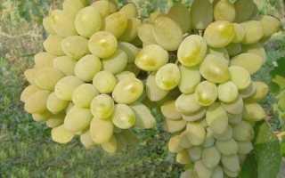 Виноград — Тимур: описание сорта, фото, отзывы