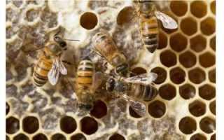 Как пчелы собирают мед: описание, интересные факты