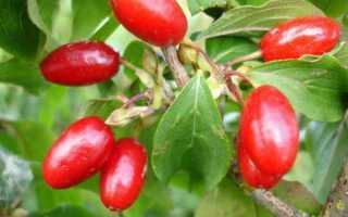 Кизил: полезные свойства и противопоказания, использование плодов