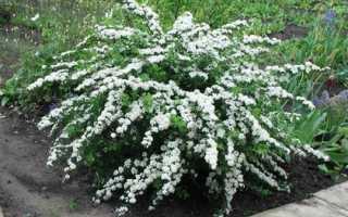 Спирея ниппонская — посадка и уход, сроки цветения